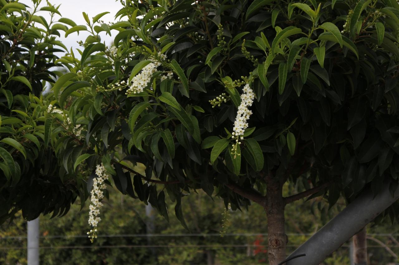Prunus lusit.Angustifolia
